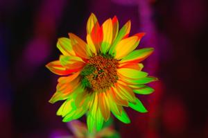 Silja Korn, Sonnenblume